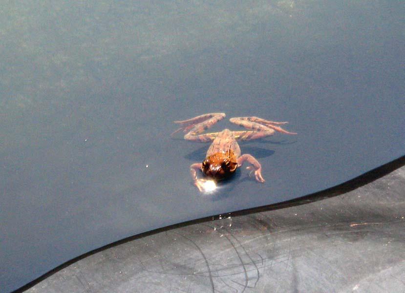 Lena žaba